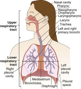 upper and lower respiratory